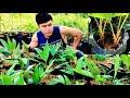 วิธีปลูกสละอินโด จากเมล็ด ตอนที่ 2 / How to grow Salak madu tree (Snake fruit tree) 2 / 滇西蛇皮果如何种植 2