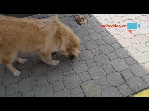 Pes sežral cikádu