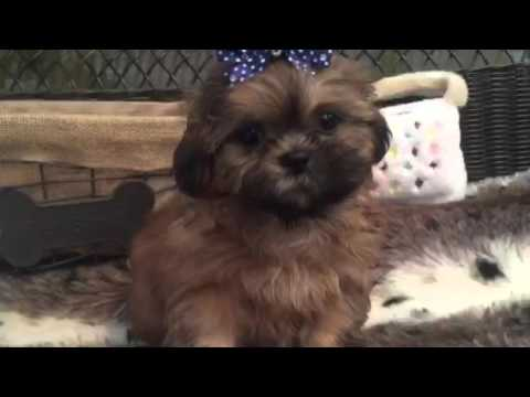 A real heart warmer, sable shih tzu puppy