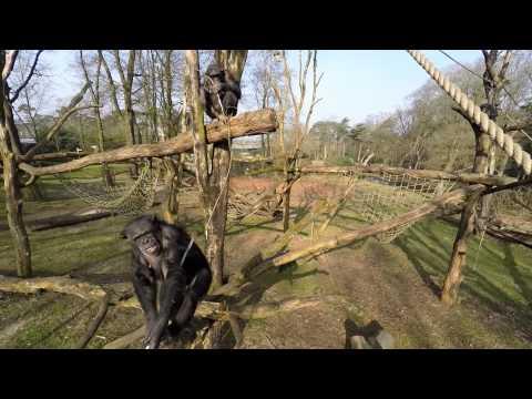 A este chimpancé no le gustan los drones