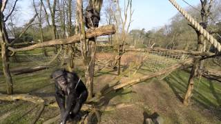 Chimpanzee Takes Down Drone Flying In Ape Enclosure