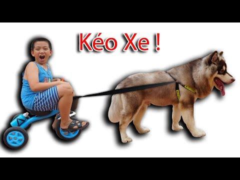 NTN - Thử Cho Gấu Alaska Kéo Xe ( Dog pulls a car ) (видео)