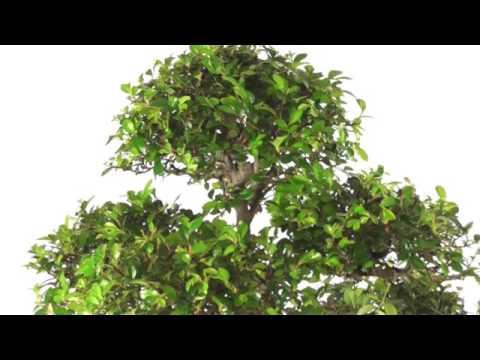 Extra-Large Specimen - Exquisite S-Shaped Chinese Elm Bonsai - PE160