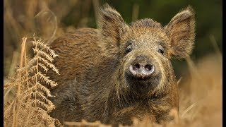 Video Wild Pig {Catch Clean Cook} Whole Roasted Wild Boar MP3, 3GP, MP4, WEBM, AVI, FLV Mei 2019