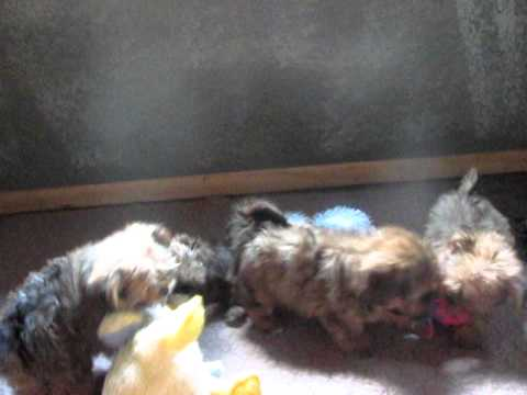 Shorkie Puppy /Shorkie Puppies in Video