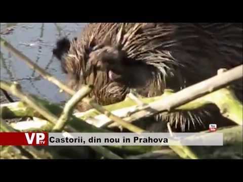 Castorii, din nou în Prahova