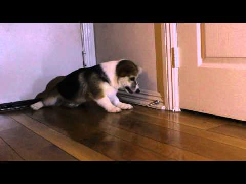 door - SUBSCRIBE now to Rumble Viral: http://bit.ly/RumbleViral Watch as Trigger the Corgi puppy goes up against a door stop! He's determined to win this battle! Check out 'trinketbaby' for more...