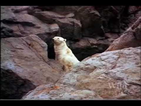 Polar Bear vs Walrus: Who's the Winner? (VIDEO)