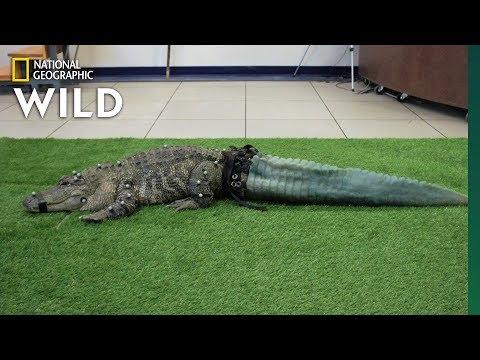 Uusi 3D-tulostettu häntä alligaattorille