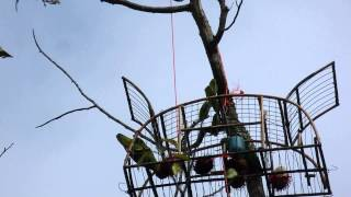 Burung Serindit bijak Video