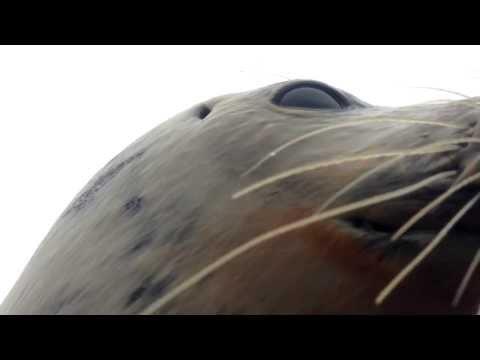 Un phoque saute dans le bateau d'un chasseur de canard