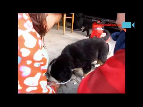 Krmení Bada (štěňátka) - Bernský salašnický pes