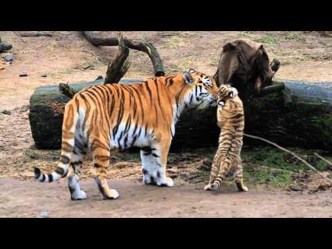 splendidi cuccioli di tigre che giocano