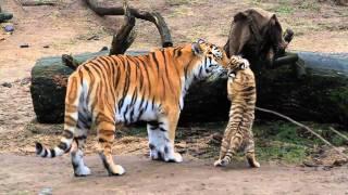 HD Tiger Babys - Cute Tigerbabys - Zoo Cologne - Amurtiger - cute baby animals full download video download mp3 download music download