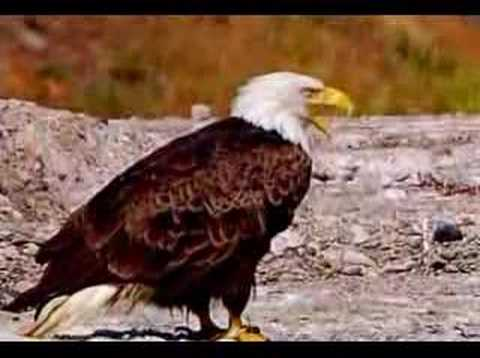 Cheticamp - Eagle Feast