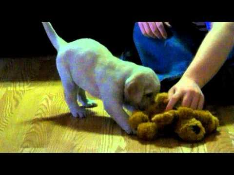 Haylee at 5 weeks Jewels Puppy