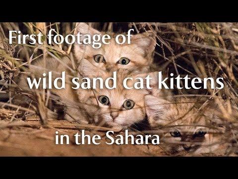 il-rarissimo-video-di-tre-cuccioli-di-gatto-delle-sabbie