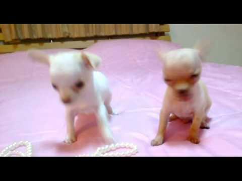 Cute Teacup Chihuahua Puppies