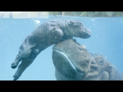 Baby Hippo Swims For The First Time At San Diego Zoo
