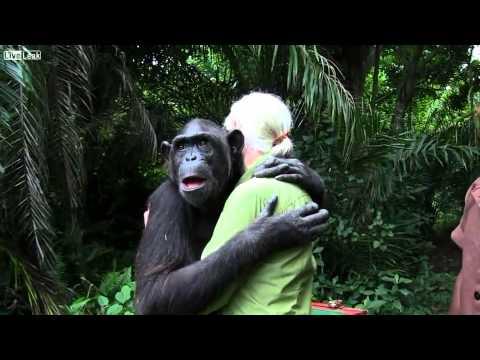 abbraccio commovente dello scimpanzè prima del rilascio nella giungla!