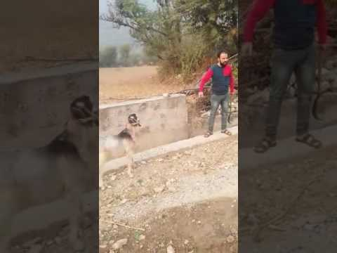 Video Funny video by reasi local artists Ajay bali download in MP3, 3GP, MP4, WEBM, AVI, FLV January 2017