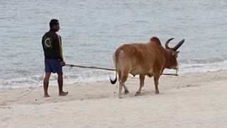 วัวชนตัวใหญ่ เดินออกกำลังกายริมหาดสมิลายามเช้า เมืองสงขลา