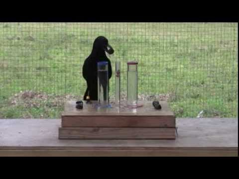 crows are smart birds who can understand water displacement some people would starve in this situation