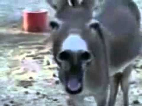 Donkey Laughing After Treadmill Incident (Funny)