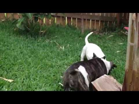 Bully Pitbull Puppies | Freak Show Bullys