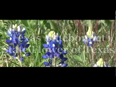 PlayMemories. Texas Bluebonnet.  State Flower of Texas.