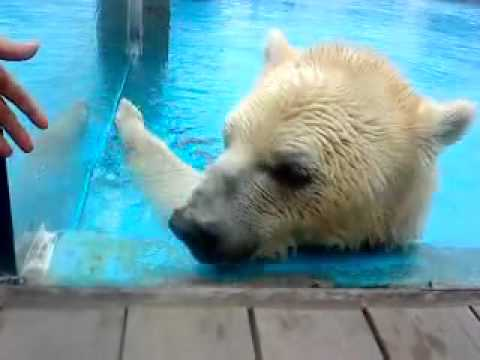 polar-bear-wants-to-eat-hand