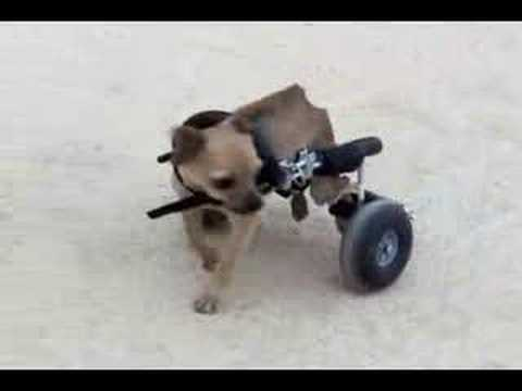 Charity the Chihuahua gets her wheelchair!