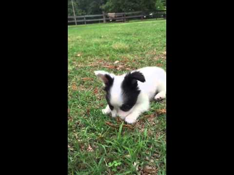 AKC white and black Papillon male