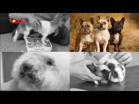 Kỳ 4: Giới thiệu về giống chó Bulldog - Thú Cưng TV