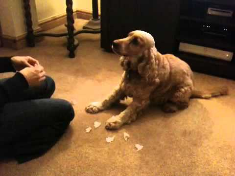 cocker spaniel: funny tricks!