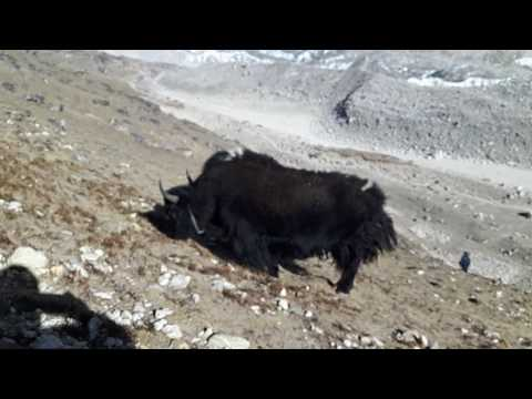 Grazing Yak in mountai. (видео)