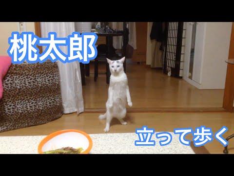 YouTube: el gato japonés que insiste en caminar en dos patas