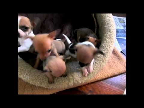 Puppies – Miniature Foxie Chihuahua
