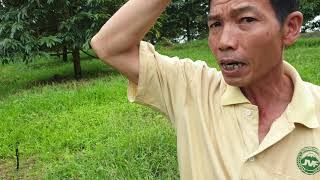 Phục hồi vườn sầu riêng trồng xen điều và cà phê ở Bình Phước
