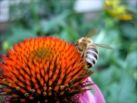 Backyard Beekeeping Part 12: Honeybee Drinking Nectar From Purple Coneflower
