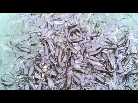 ปลาดุก อุย จันทบุรี