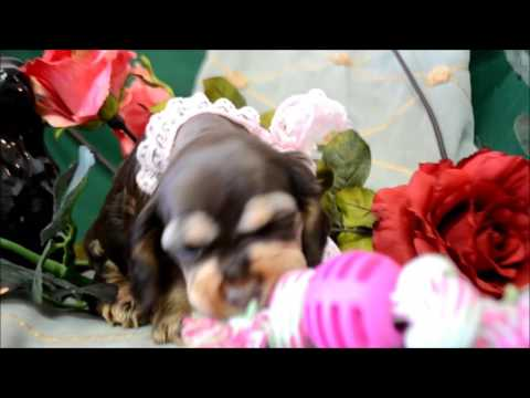 Brandy Chocolate Tan Cocker Spaniel Puppy for sale