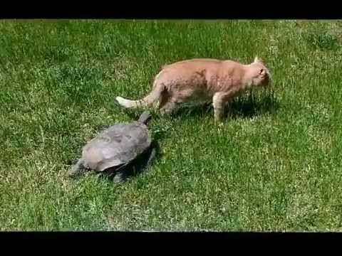 Tortoise chases Cat (Funny!!!!)