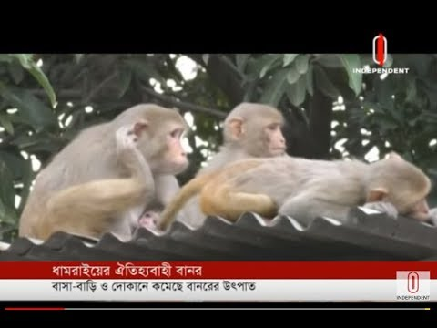 Traditional monkeys on the verge of extinction (25-04-2019) Courtesy: Independent TV
