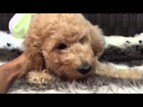 Gorgeous mellow Standard Poodle Boy!