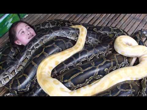 小蛇spa不稀奇 巨蟒按摩才潮