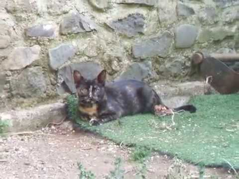 Offro in adozione vona. gattina tartarugata portafortuna