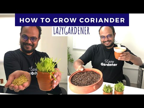 Growing Coriander #withme | From seeds / stems