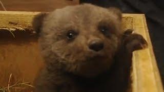 Video Boris the cute baby bear MP3, 3GP, MP4, WEBM, AVI, FLV Oktober 2017