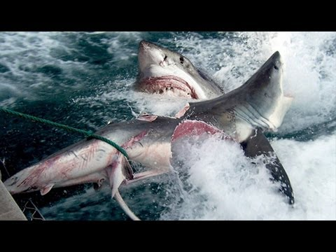 Great - Great White Shark Bites Shark in Half. A Great White Shark is bit in half by a Giant Great White Shark in the waters off stradbroke island in Australia. The ...